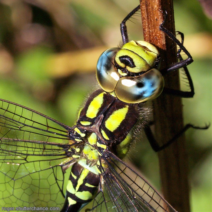 photoblog image Southern Hawker