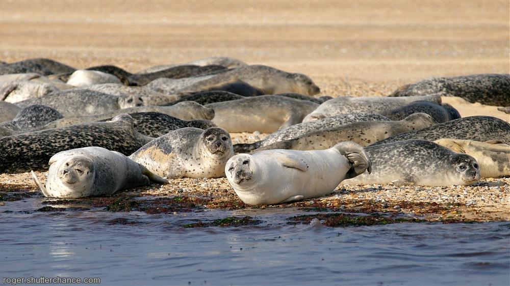 photoblog image Common Seals, <i>Phoca vitulina</i>