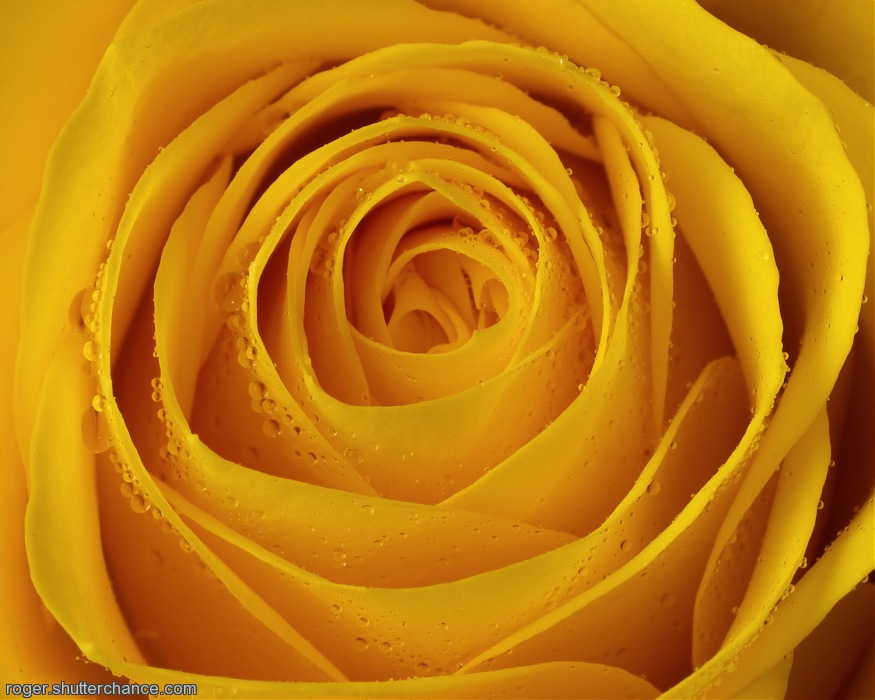 photoblog image Yellow Rose