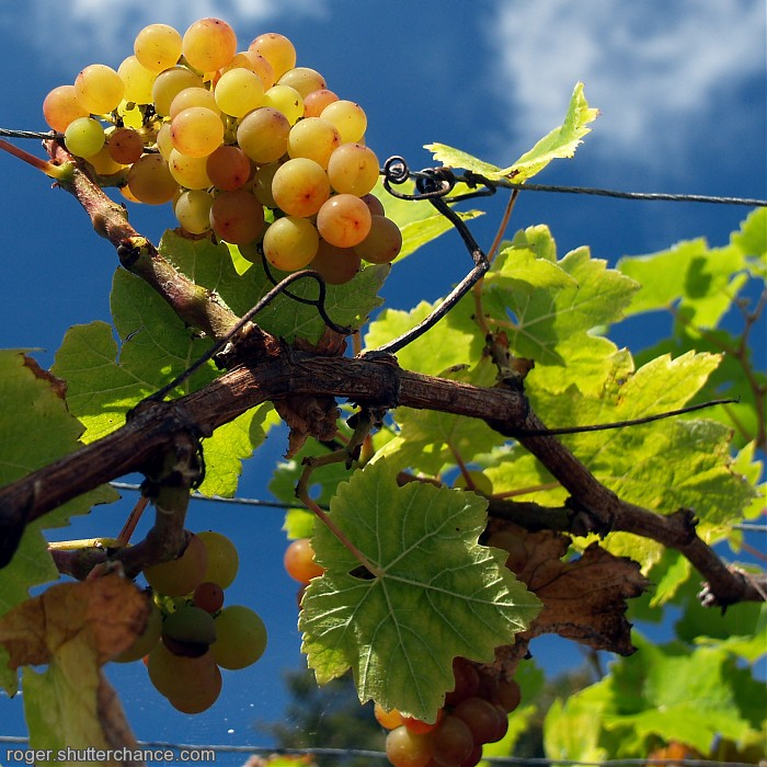 photoblog image Cornish Grapes